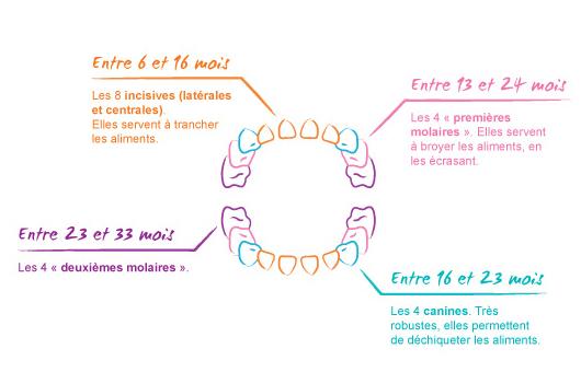 calendrier-poussees-dentaires